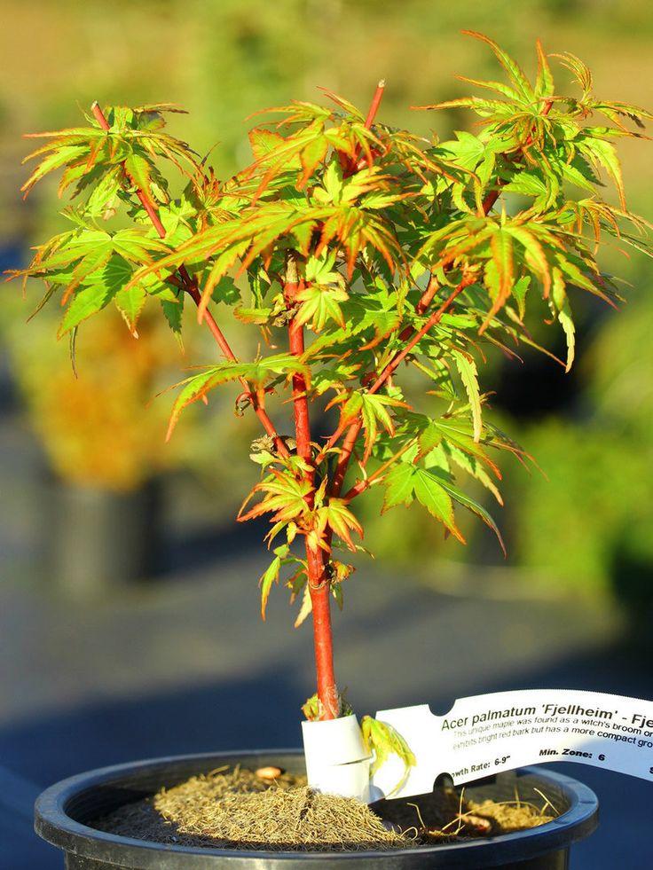 Think, Coral bark japanese maple bonsai have