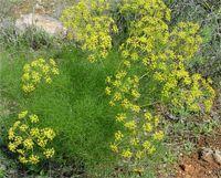 Fenouil - Les graines de fenouil (fenouil doux) sont carminatives pour purifier et nettoyer, elles sont aussi antispasmodiques pour soulager des coliques et des crampes intestinales. Le fenouil (aneth doux) est un diurétique en éliminant la rétention d'eau, et apéritif en stimulant l'appétit.... https://www.complements-alimentaires.co/wp-content/uploads/2012/05/Fenouil_Foeniculum_vulgare.jpg - Par Nathalie sur Compléments alimentaires  #Lesplantesdelafamille