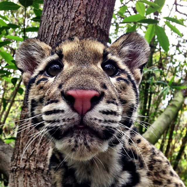 Clouded leopard cub wildlife nature animals pictures photography birds sealife
