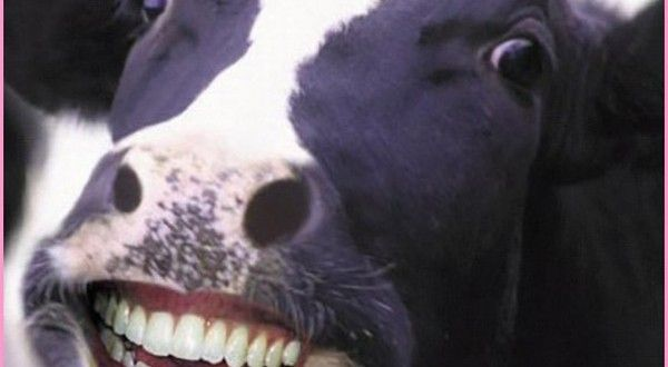 FUNNY COW PICTURES FREE DOWNLOAD http://www.funnynwallpaper.in.net/funny-cow-pictures-free-download/  #FUNNY #PICTURES #Wallpapers #DOWNLOAD