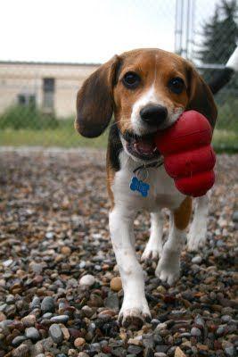 Triangle Beagle Rescue of North Carolina