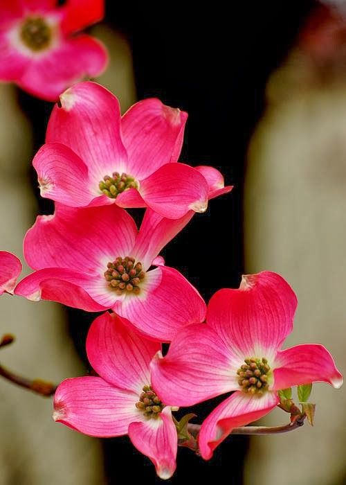 Цветы калифорнийского кизила из холодного фарфора — Рукоделие