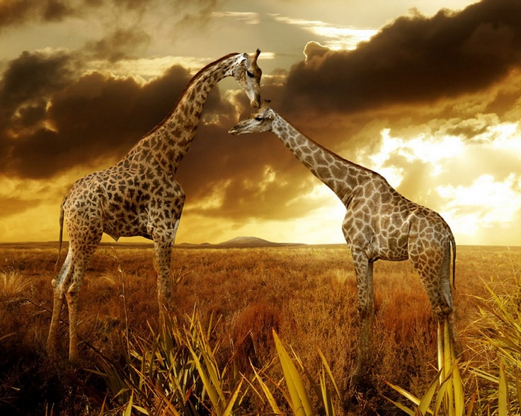 My soul mates: Holidays Pictures, Natural Photography, Trav'Lin Lights, Giraffe, Wonder World, Inspiration Pictures, Animal Prints, Sunsets Photography, Beautiful Creatures