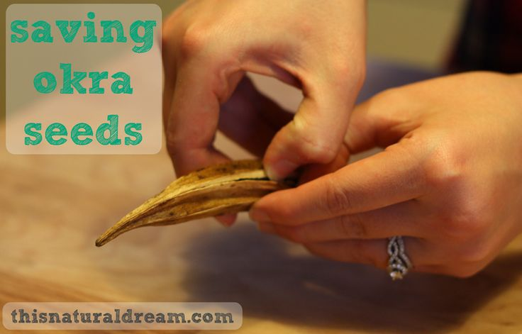 Saving okra seeds. Holy cow is it easy and saves money to boot.