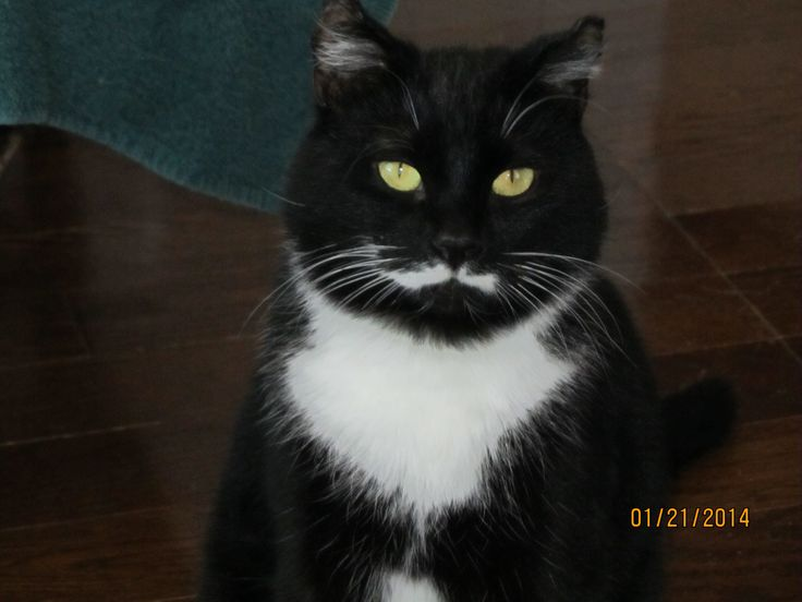 This is Cody. He is a 2 year old DSH.