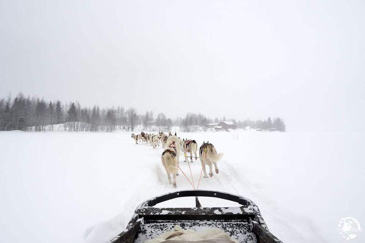 Chiens de traineaux Laponie