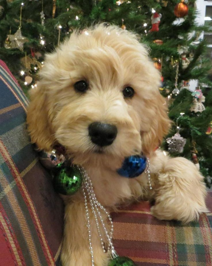 probably one of the cutest puppies ever!  We got our Goldendoodle from this breeder.  They are fantastic!
