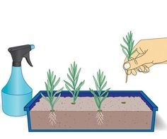 Lavendel mit Stecklingen vermehren – Seite 3 – Mein schöner Garten   – Pflanzen
