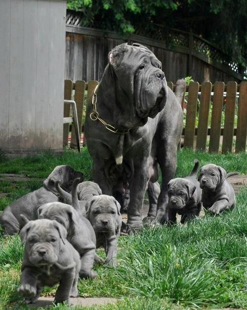 Blue Mastiffs... pintwist on color, mom & baby....Mom & babies looks very similar to a hippo.