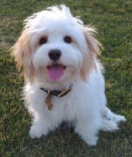 Cavachon. . . .most adorable dog ever!
