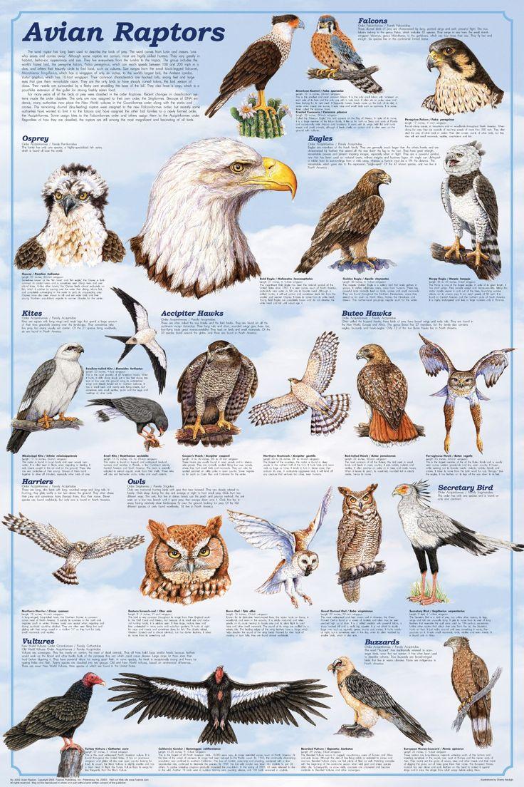 Types Of Raptors Google Search Birds Pinterest
