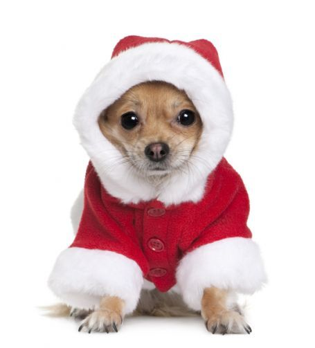 Sweet Dog in Christmas outfit  - You can add Santa - Holiday Quotes & More to Your Photos right from your Phone. Check it out just CLICK> Capturethemagic.com
