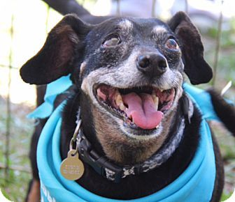 Weston, FL - Dachshund Mix. Meet Curtis, a dog for adoption. http://www.adoptapet.com/pet/10361447-weston-florida-dachshund-mix