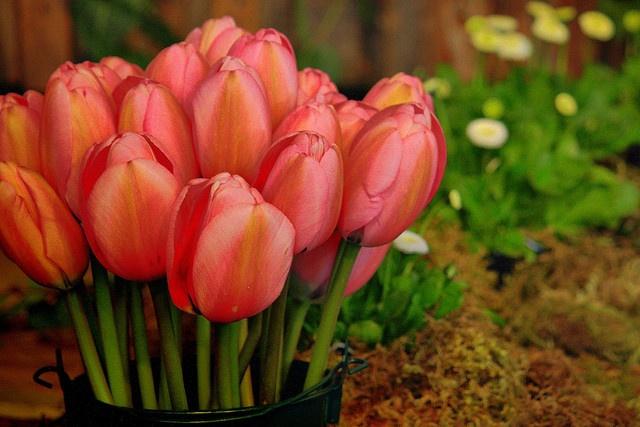 tulips in a bucket