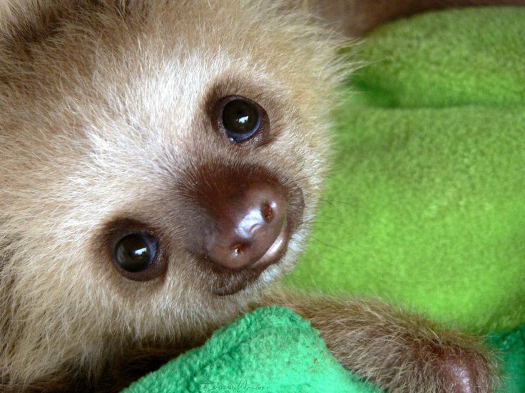 For more adorable sloths like this little guy, check out our blog! http://all-things-sloth.com/sloth-blog/