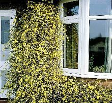 Vinterjasmin / Jasminum nudiflorum / Slyngplanter