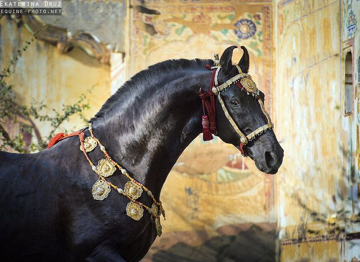 Mar Wari -Owned by only the Sultans of Arabia,they have very special curved ears, ride like the wind.