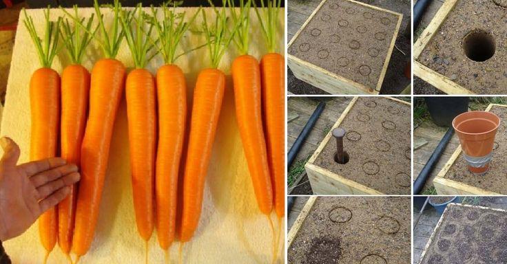 Návod na pěstování velkých a krásných mrkví
