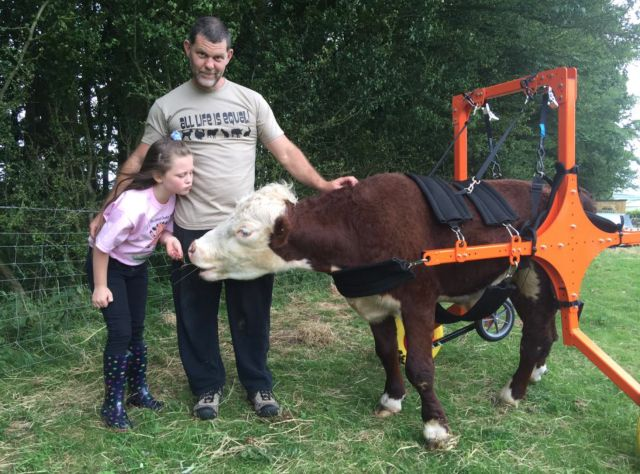This Rescued Dwarf Cow Is Learning to Walk Using An Amazing Device  - CountryLiving.com