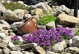 Znalezione obrazy dla zapytania skalniak rośliny