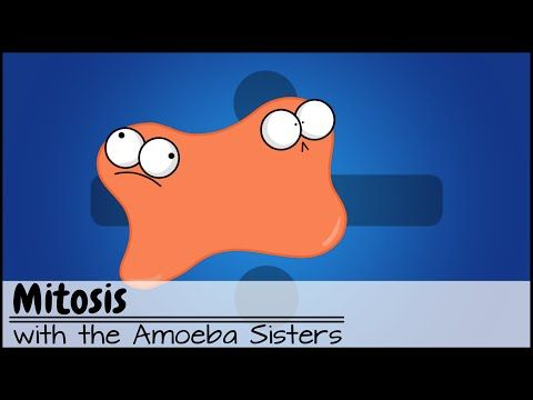 Mitosis: The Amazing Cell Process that Uses Division to Multiply!  Updated Mitosis Video. The Amoeba Sisters walk you through the reason for mitosis with mnemonics for the phases. By: Amoeba Sisters.