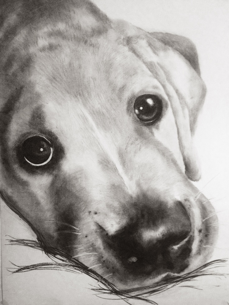 'Harry' Charcoal on Paper. By Suzie Clyne 851 x 598mm. Commissions available on request. SOLD
