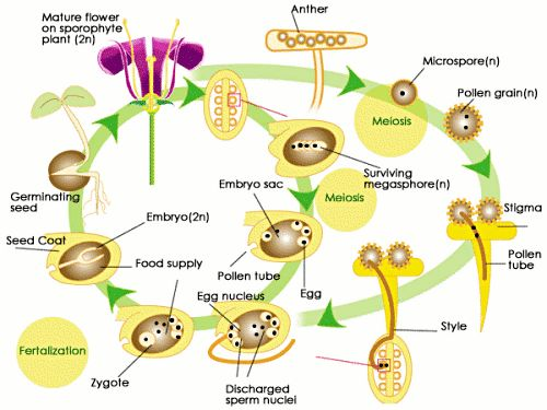 SparkNotes: The Life Cycle of Plants: Alternation of Generations: Angiosperm