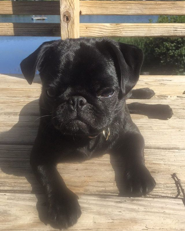 150b151f277 Just catching some rays | pugs | Dogs, Black pug puppies, Baby pugs