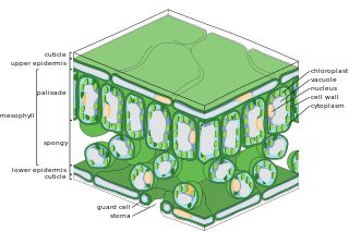 Difference between stomata and lenticels - LORECENTRAL