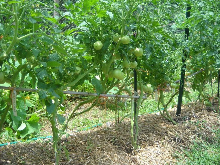 Кусты томатов с обрезанными нижними листьями