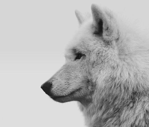 A Lady And Her Dire Wolf: 25+ Best Ideas About House Stark On Pinterest