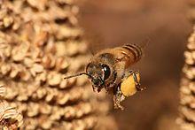 Honeybee in flight carrying pollen in pollen basket - Wikipedia, the free encyclopedia
