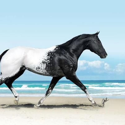 Oh my. You don't often see an Appaloosa quite this distinctively colored--so intensely black and white.