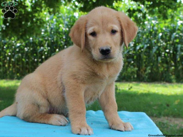 Golden Retriever Mix Puppies For Sale Retriever puppy