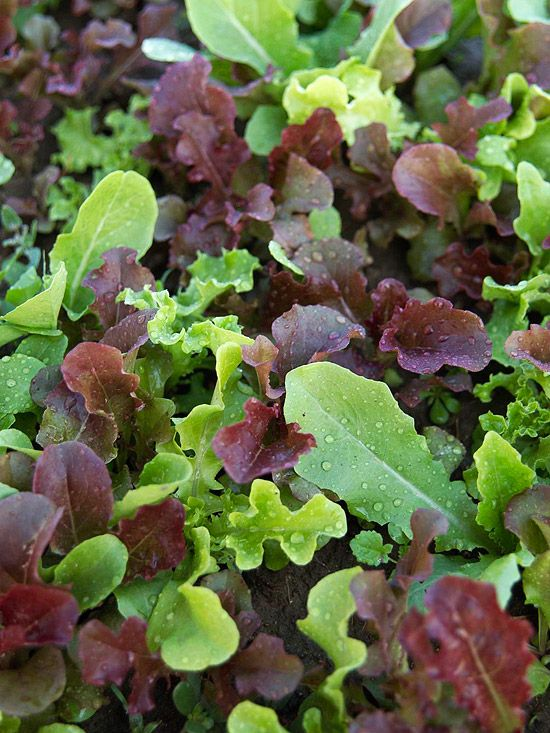 Who says you have to grow lettuce varieties separately? Sowing several types together creates your own mesclun mix, which is simply a combination of various salad greens. The Wildfire Lettuce Mix pictured here combines 'Outredgeous', 'Garrison', 'Blackjack', 'Tango', 'Royal Oak', 'Parris island', and 'Saladbowl' lettuces for a colorful salad garden in a single bed./