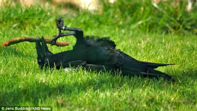 The bird can be clearly seen to be playing with the stick in the park in Schleswig, Germany