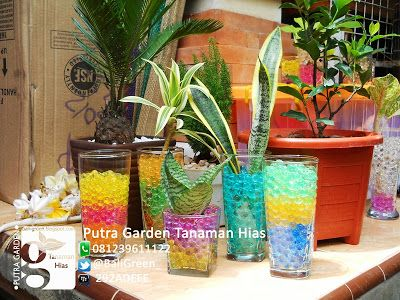 Tanaman hias media hidrogel di bali   Hydrogel houseplants +6281239611122