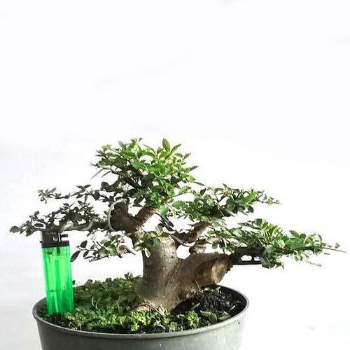 Tanaman Ulmus Bonsai Small