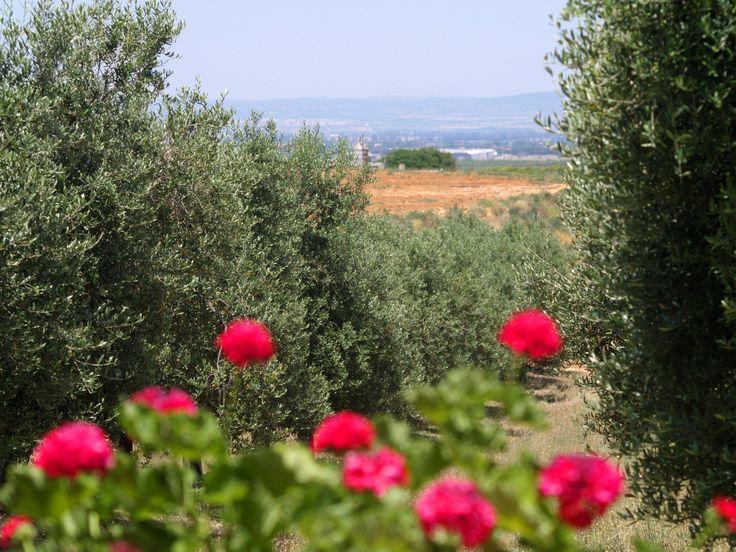 Olivos arbequinos en Sevilla. El tórrido verano también esconde sus encantos... #olivos #basilippo #oleoturismo #sevilla