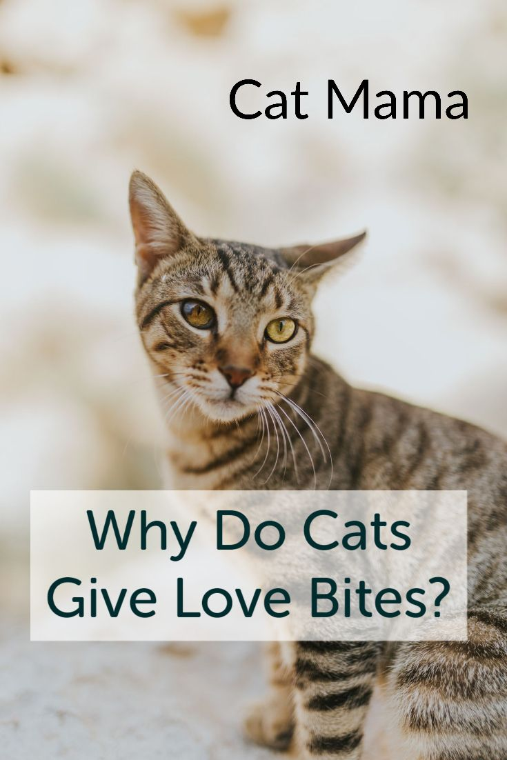 Why Do Cats Give Love Bites In 2020 Cat Biting Cats Cat Behavior