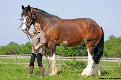 Duke, the 6ft 5in Shire horse that is Britain's tallest (but he's still scared of mice)