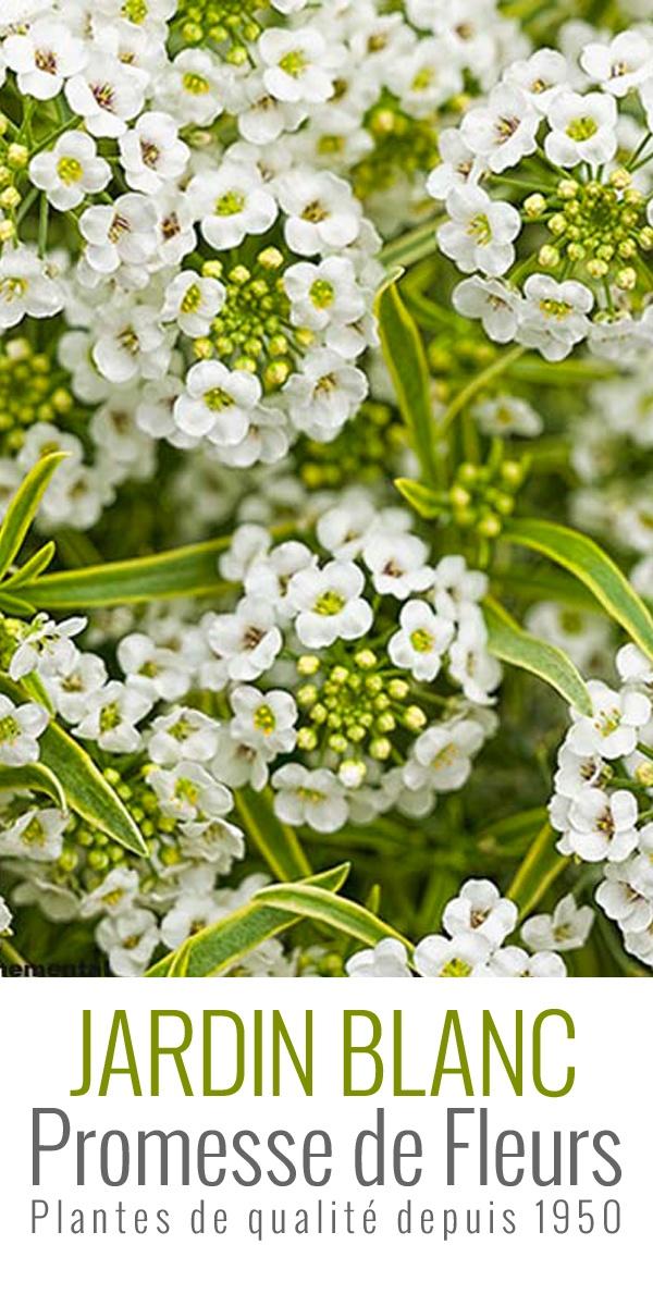 Le Lobularia maritima Primavera Princess est une variété très récente. Aussi appelé Alysse odorant, il produit une profusion de sphères de fleurs blanches et parfumées tout au long de l'été jusqu'aux gelées. Issue de la variété Snow Princess, Primavera Princess lui ressemble beaucoup, mais possède en plus un feuillage vert panaché d'or.