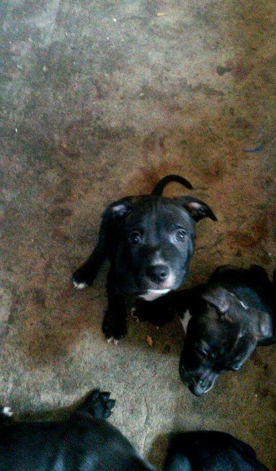 8 week old staffy pups for sale. £150. lovable girl n two boys. Brindle. Playful pups.