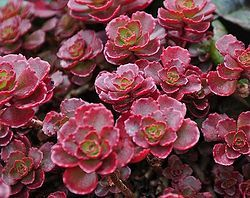 Sedums Add Color to the Late Summer Garden
