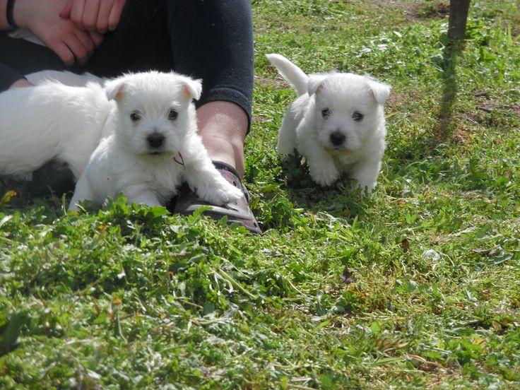 Des bébés westie sont nés > Acheter un chiot West Highland White Terrier > 44 - Loire-atlantique France - Eleveurs-Online.com