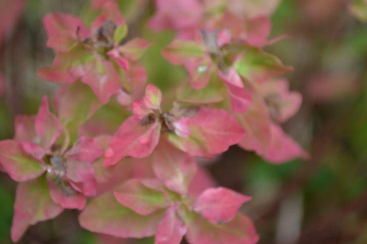 Euphorbia polychroma autumcolors