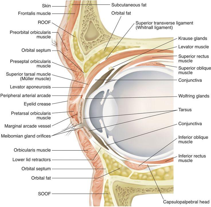 Vistoso Ovejas Anatomía Muscular Embellecimiento - Imágenes de ...