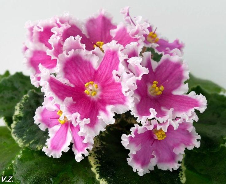 ☘ VaT-AMAZONKA ☘ African Violet Plant ☘ Starter Plug Ukrainian ☘ NEW 2015