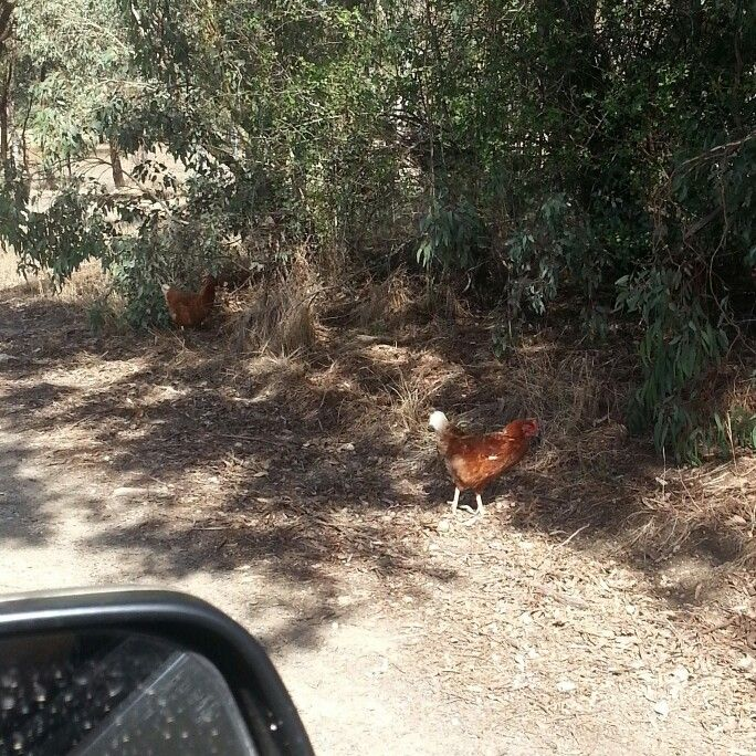 Got stuck in traffic :-) #chickens #hens #countrylife #countryroad #kyneton #fabfrau