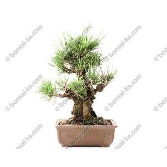 Bonsai pinus dans Divers achetez au meilleur prix avec Webmarchand.com